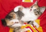 Очаровательные котята курильского бобтейла