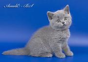 Чудесные британские котята ищут своего хозяина