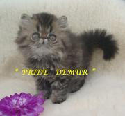 Продаются персидские котики