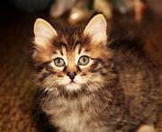 Продаются Курильские котята