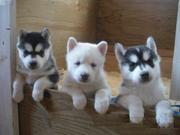 3 умными,  здоровыми и хорошо обученных сибирских хаски щенки