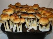 Споры галюценогенных грибов