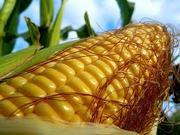 Постоянно закупим кукурузу