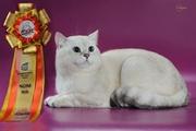 британские котята редкого окраса серебро
