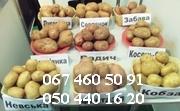 продам картофель семенной,  продам картоплю,  картопля