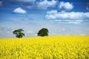 рапс,  пшеницу,  сою,  кукурузу,  ячмень,  подсолнечник закупаем