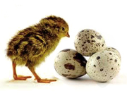 Реализуем отборные инкубационные яйца перепелов