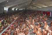 Птицеводческий комплекс по производству органических куриных яиц